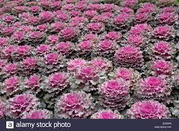 decorative mass planting of ornamental kale cabbage brassica