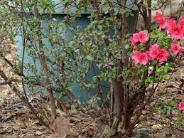 azalea branch dieback u2013 why are there dying branches on azaleas
