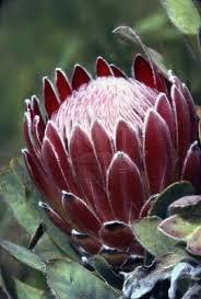 Protea Flower 23 Stunning Proteas Decoratoo