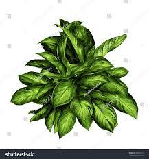 aglaonema aglaonema flower sketch vector graphics color stock vector