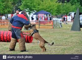 belgian shepherd for sale south africa belgian malinois military working dog stock photos u0026 belgian