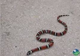 english pattern snake guides snakes in costa rica