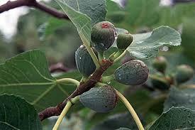 figs rhs gardening