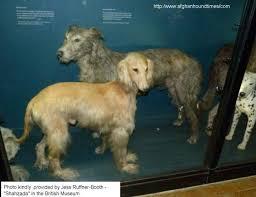 afghan hound ireland afghan hound times early afghan hounds shahzada british