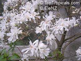 plants with scents as heady as incense magnolia toptropicals com