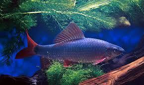 Buy Ornamental Fish And Photos Of Colorful Aquarium Fish Freshwater Tropical