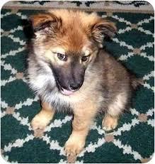 belgian sheepdog breeders michigan dallas adopted puppy muskegon mi belgian tervuren german