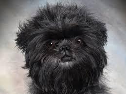 affenpinscher dogs for sale gizmo affenpinschers puppies for sale