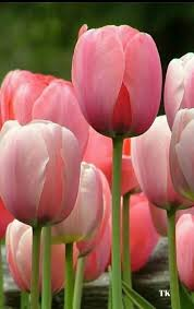 tulips flowers flower feature tulips by blossom nyc s only luxury