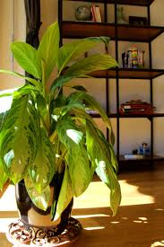 Tall Indoor Plants Low Light Low Light Indoor Plants Fortunately There Are Tons Of House