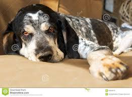 bluetick coonhound terrier mix bluetick coonhound dog stock photo image 50399410