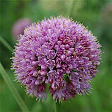 allium for sale buy ornamental ornamental