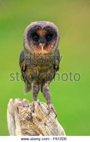 Tom Barn Sao Tome Barn Owl Tyto Thomensis Tyto Alba Thomensis Sits On A
