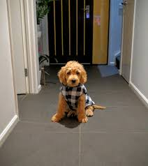 cockapoo vs bichon frise my 11 week old groodle puppy toby in his flannel coat http ift