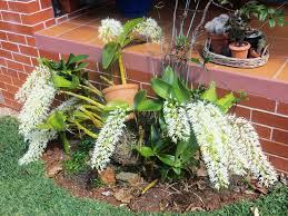 Dendrobium Orchid Growing Dendrobium Orchids The Gardenezi Way Gardenezi