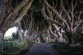 the dark hedges of county antrim wall mural the dark hedges of save your design for later
