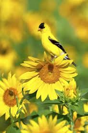 sunflowers for birds save money feeding birds by harvesting