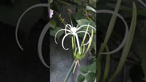 Fragrant Night Blooming Plants - fragrant spider lily night blooming jasmine arabian jasmine