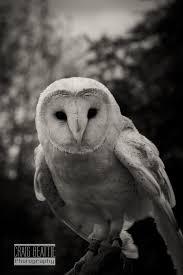 Barn Owl Photography Black U0026 White Craig Beattie Photography