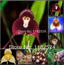 Monkey Orchid 100pcs Lot Mixture Of Dracula Simia Orchid Monkey Orchid Seeds