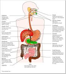 Esophagus And Stomach Anatomy Anatomy Organ Pictures Human Anatomy Organs Diagram Picture