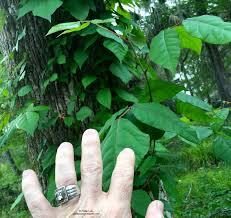 plants native to florida florida u0027s 4 common poisonous plants phillip u0027s natural world