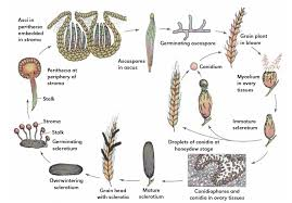 Diseases In Plants And Animals - ergot of rye