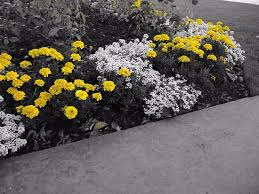 yellow flowers in garden picture of stirling castle stirling