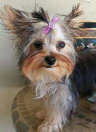shorkie haircut photos yorkie hair yorkshire terrier information center