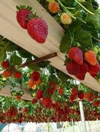 pallet strawberry planter marble gardens garden pinterest