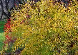 12 trees shrubs fall foliage color shrub garden