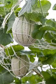 best 25 growing cantaloupe ideas on pinterest growing