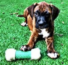 rescue a boxer dog hi meet fassa u0027s friend posey i u0027ve been adopted fassas friends
