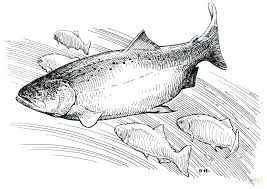 salmon fish coloring page salmon coloring page salmon coloring pages salmon fish coloring