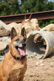belgian shepherd malinois military army using search and rescue dogs to u0027sniff out u0027 survivors