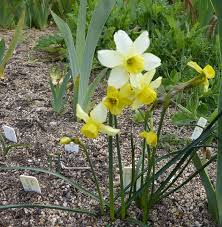 narcissus 2016 forum topic north american rock garden society