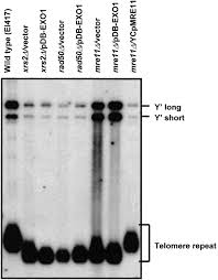 the saccharomyces cerevisiae mre11 ts allele confers a separation