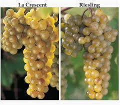 Grape Trellis For Sale The Grapes Of North Country La Crescent U2013 New York Cork Report