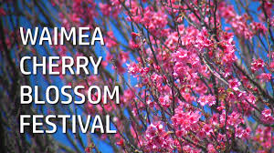 video waimea cherry blossom festival in full bloom