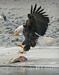 stellers sea eagle wallpapers 38 best talons and bird feet images on pinterest animal anatomy