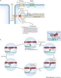 calcium handling and the actin myosin crossbridge cycle in cardiac