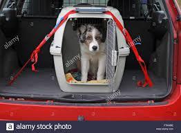 4 month australian shepherd australian shepherd puppy 4 month old male in a travel dog