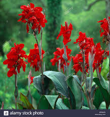canna lilies up of a large clump of canna lilies stock photo