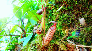 Plants That Grow In Tropical Rainforests Nepenthes Pitcher Flower Exotic Carnivorous Plant Growing Among