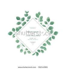 silver dollar eucalyptus stock images royalty free images