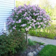 best 25 lilac tree ideas on lilac lilac