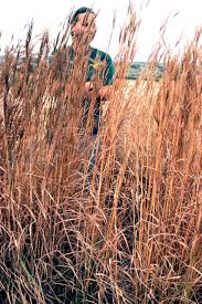 native plants for screening ornamental grasses