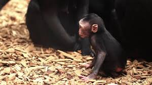 say hello to chester zoo u0027s new baby monkey amidala daily post