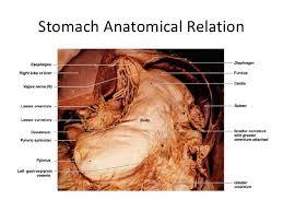 Picture Of Abdomen Anatomy 1 Stomach