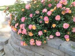 drift roses buy drift online free shipping 99 99